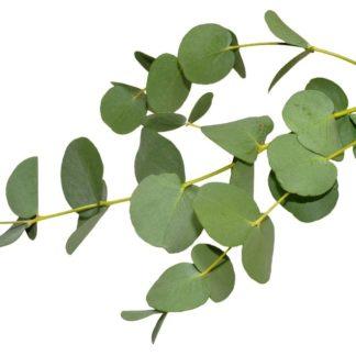 Eukalyptus Radiata – 100% rein eterisk olje (10ml)