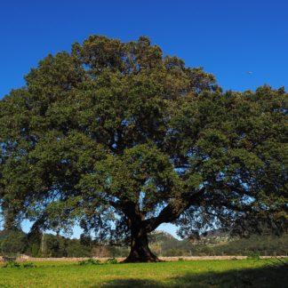 Kamfer/ Ho Wood – 100% ren eterisk olje (10ml)