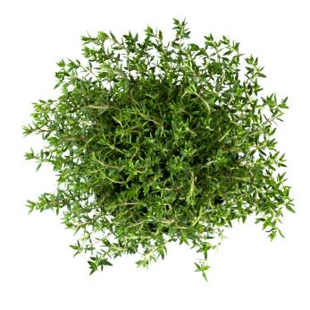 Timian/ Thyme – 100% rein økologisk eterisk olje (10ml)